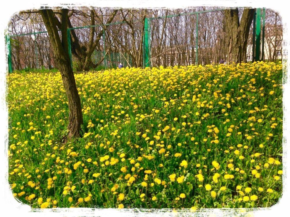 一面に咲くタンポポの花