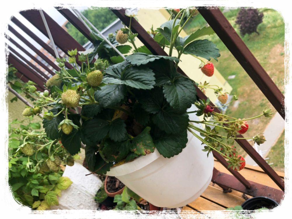 ベランダで育てているイチゴ